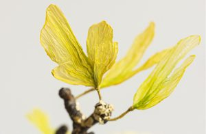 2016 – GINKGO BILOBA, Paris – William Amor designed a Ginkgo Biloba made of ennobled plastic bags, lacquered plane tree, gold threads from textile designer Charlotte Kaufmann and debris of gold leaves from gilder Hubert Jouzeau. Upcycling artist.
